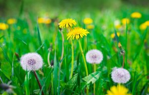 Dandelion Identification